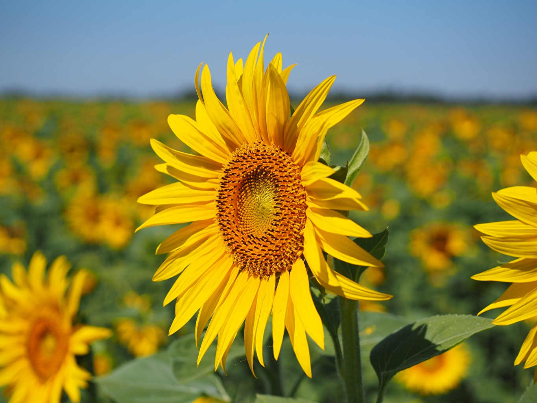 Fotos von Bokeh Gelb Blumen Sonnenblumen hautnah unscharfer Hintergrund Blüte Nahaufnahme Großansicht