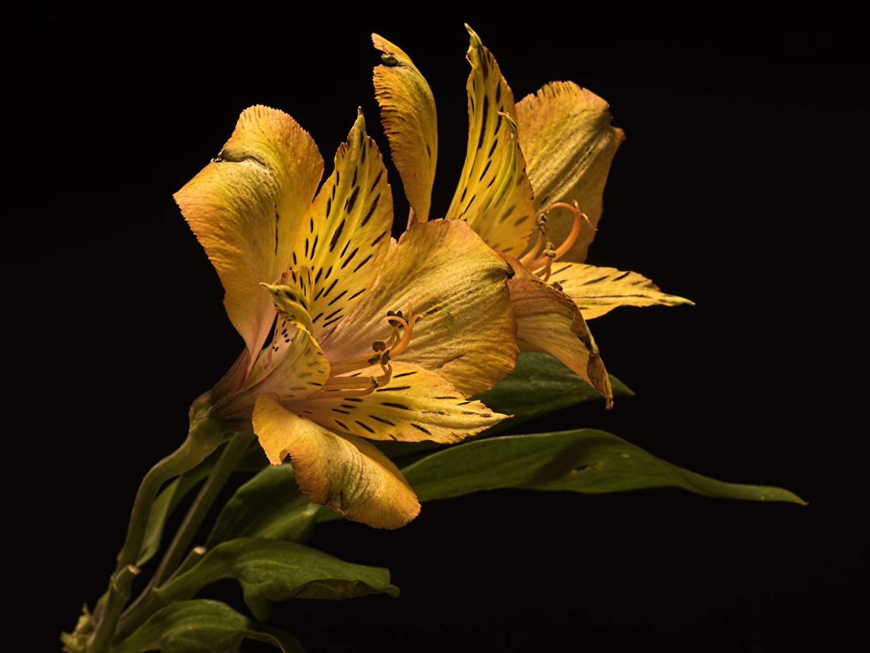 Fotos Gelb Zwei Blumen Alstroemeria hautnah Schwarzer Hintergrund 2 Blüte Inkalilien Nahaufnahme Großansicht
