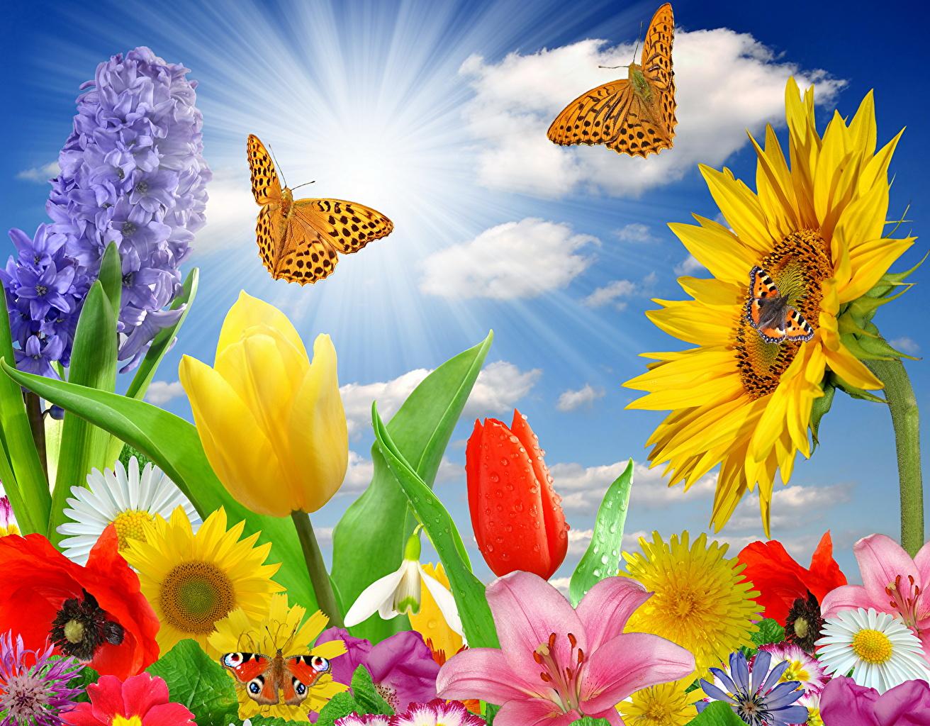 Desktop Wallpapers Rays of light Butterflies Tulips flower