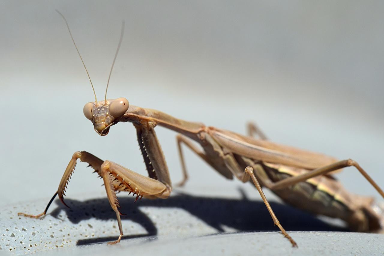 Picture Mantis Paws Closeup Animals mantodea animal