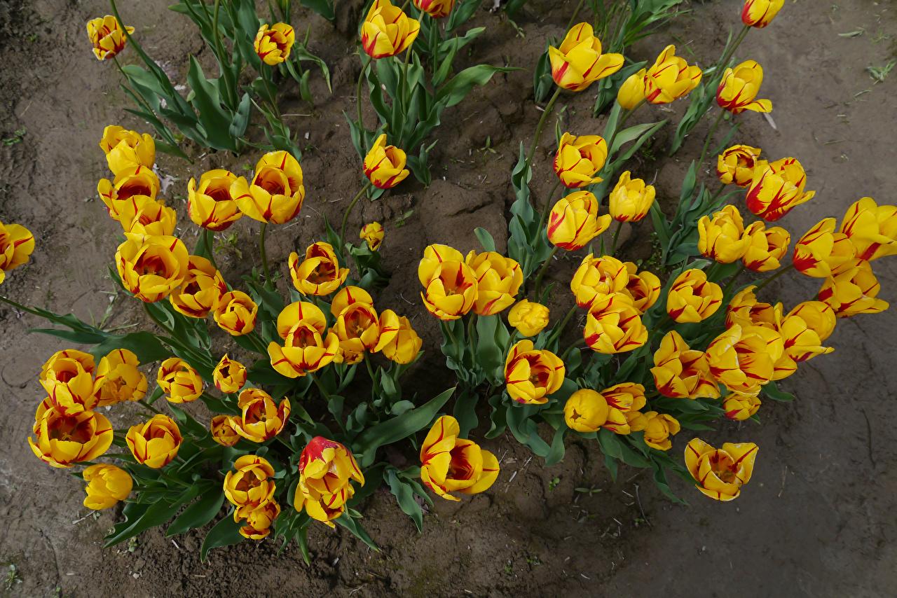 ,郁金香,從上面,黄色,花卉,