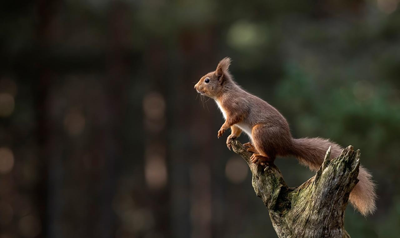 Bilder Hörnchen unscharfer Hintergrund Tiere Eichhörnchen Bokeh ein Tier
