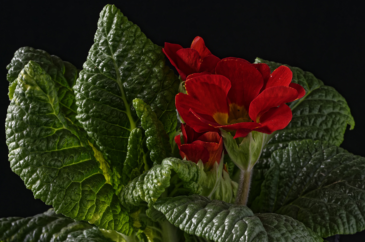 Wallpapers Foliage Red Flowers Primula Closeup Leaf