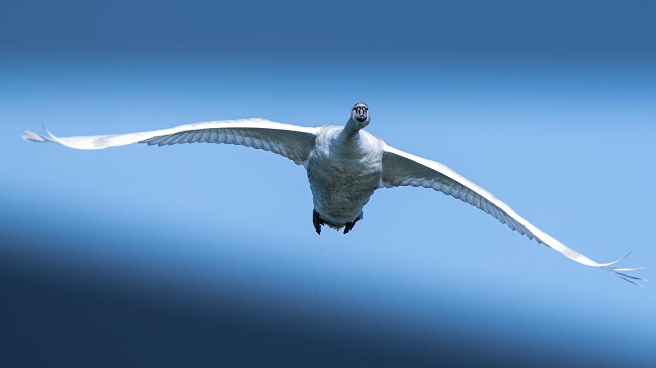 Bilder von Vögel Schwäne Bokeh Weiß Flug Tiere Vogel Schwan unscharfer Hintergrund ein Tier