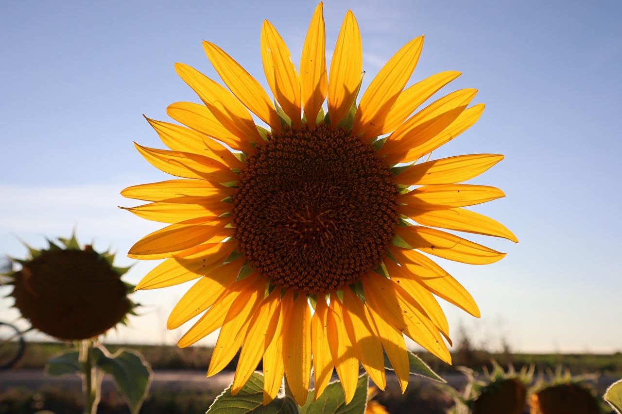 Fotos von Gelb kronblätter Blumen Sonnenblumen Nahaufnahme Blütenblätter Blüte hautnah Großansicht