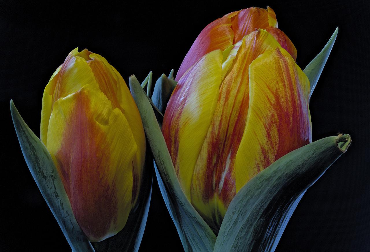 Hintergrundbilder Tulpen Blüte Großansicht Schwarzer Hintergrund Blumen
