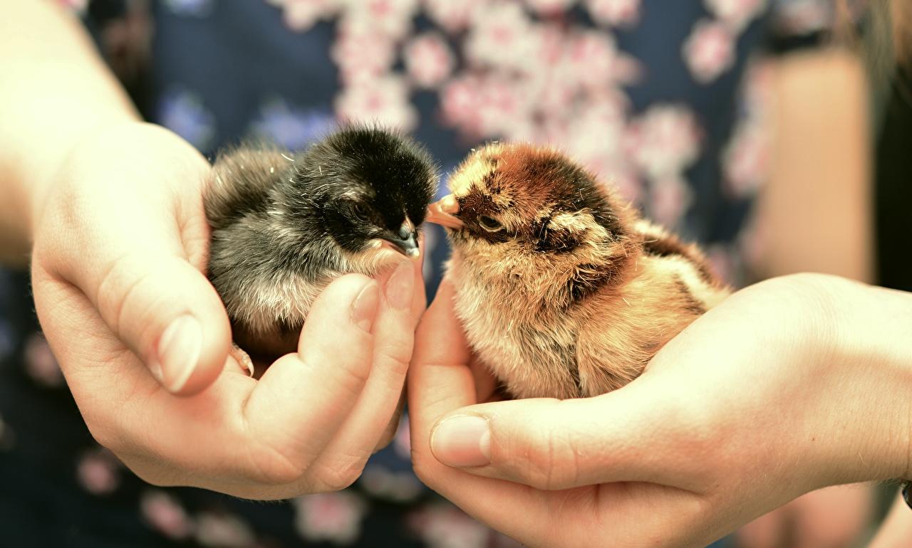 Bilder Hühner Hand Finger Tiere Großansicht