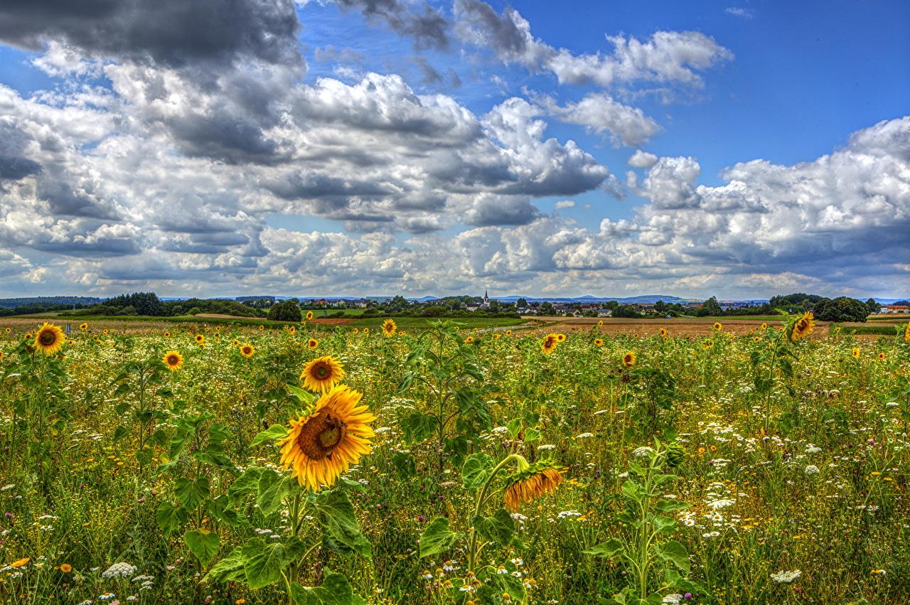 、ドイツ、畑、ひまわり、空、雲、ハイダイナミックレンジ合成、��マワリ、自然、