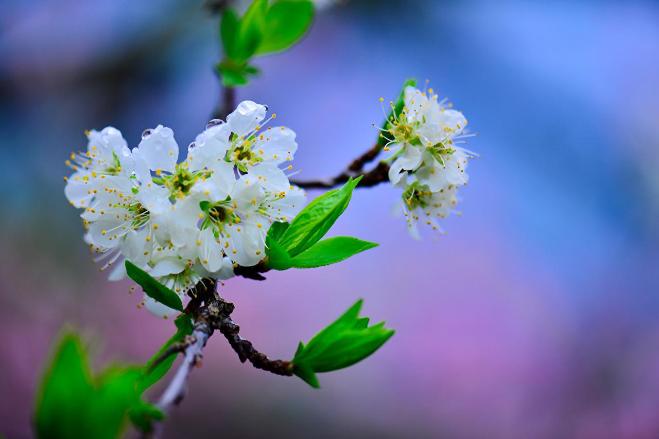 ,開花的樹,樱桃,Cherry,枝,花卉,