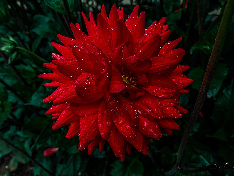 Desktop Wallpapers Red Drops flower Dahlias Closeup Flowers