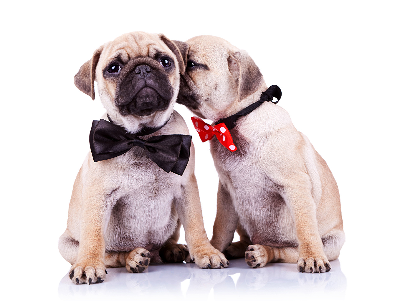 Photo Animals Pug dog 2 Bowknot Bow tie animal Dogs Two bow knot