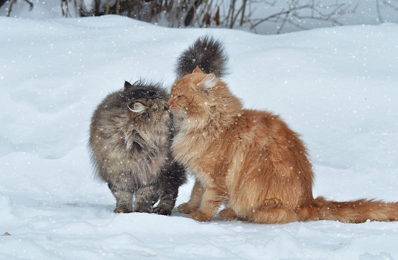 Picture cat 2 Fluffy red orange Snow animal Cats Two Ginger color Animals