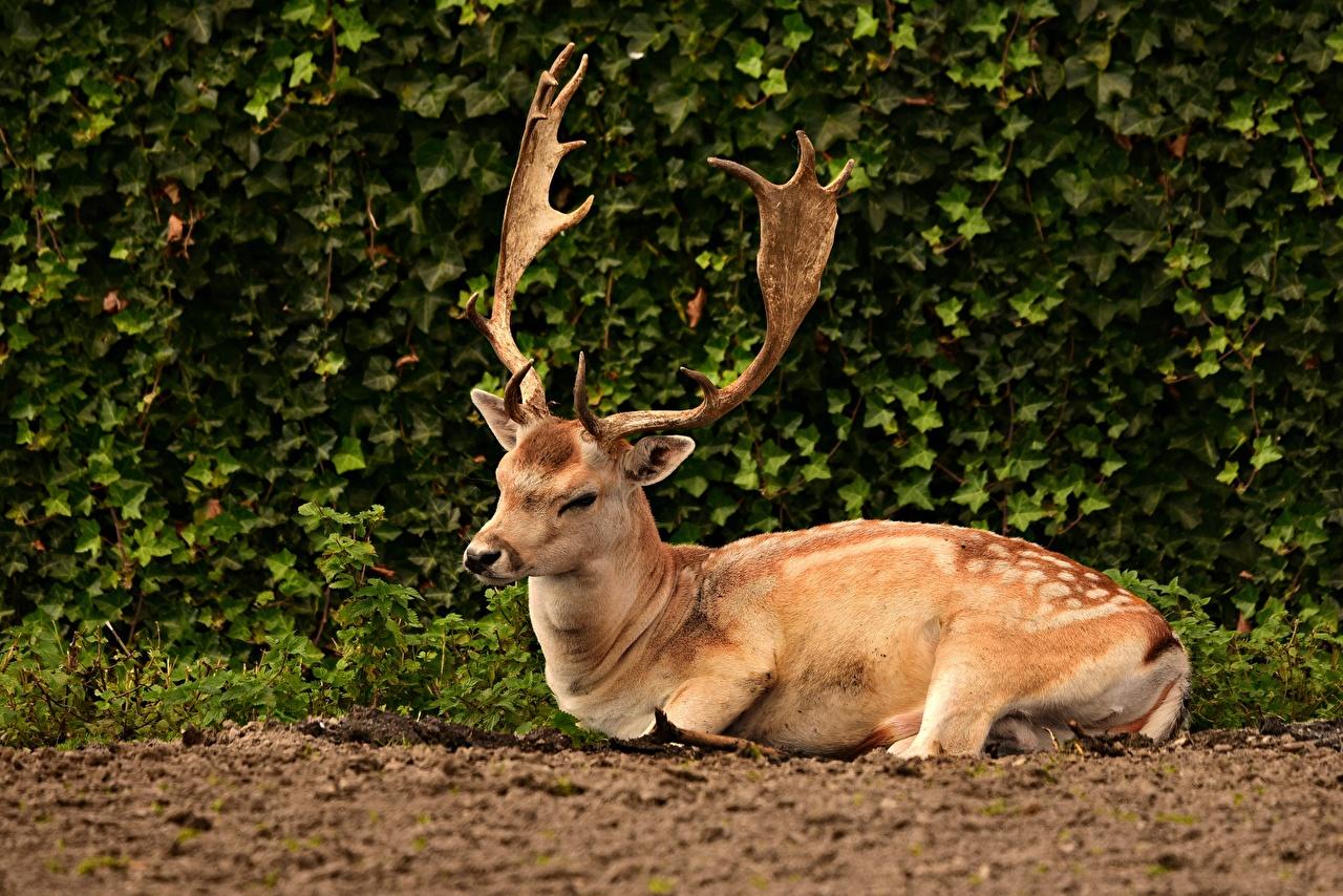 Bakgrunnsbilder til skrivebordet Hjortedyr Horn (anatomi) liggende Dyr Busker hjort Ligger