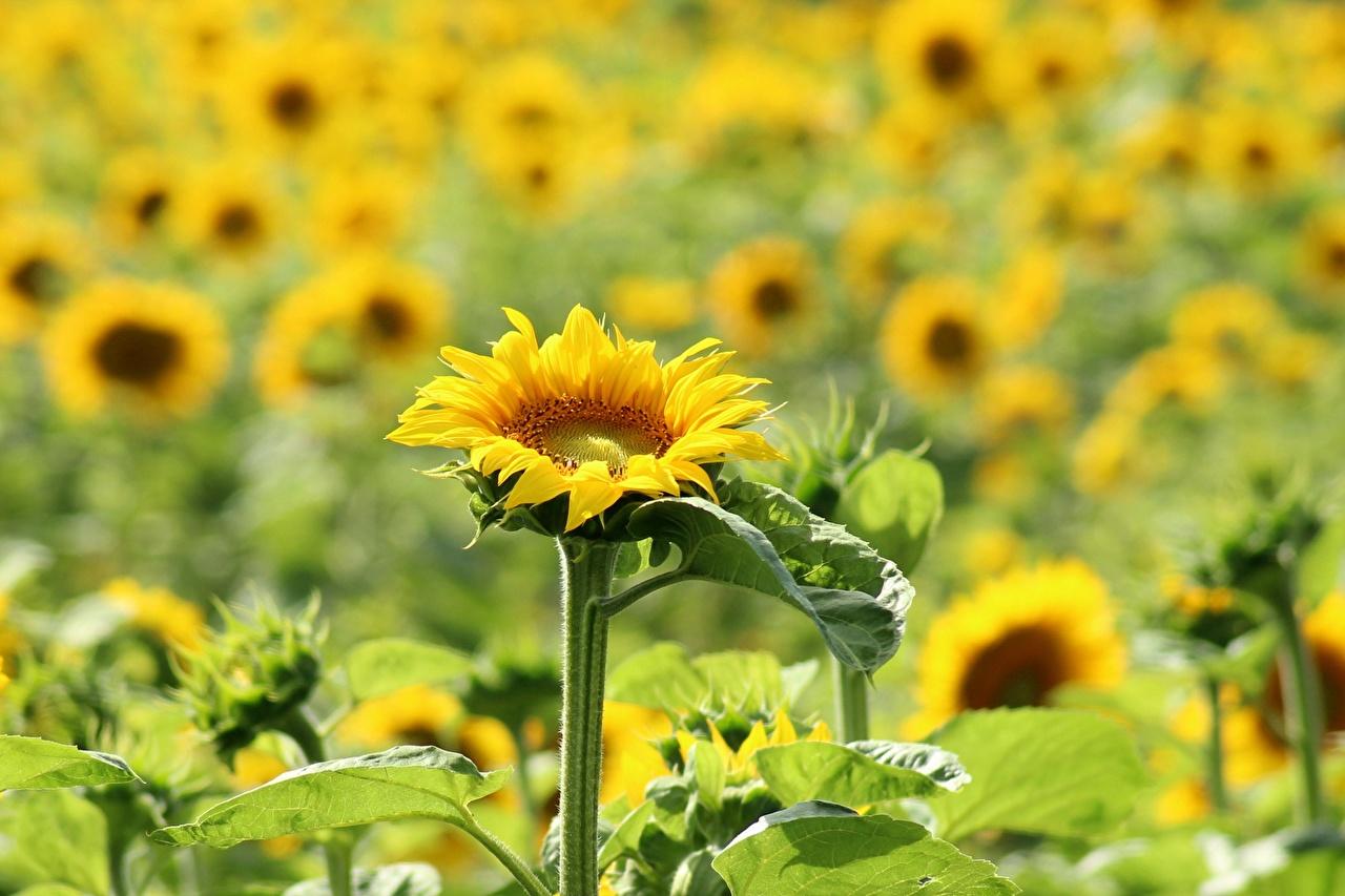 Photos blurred background Yellow Flowers Helianthus Many Bokeh flower Sunflowers