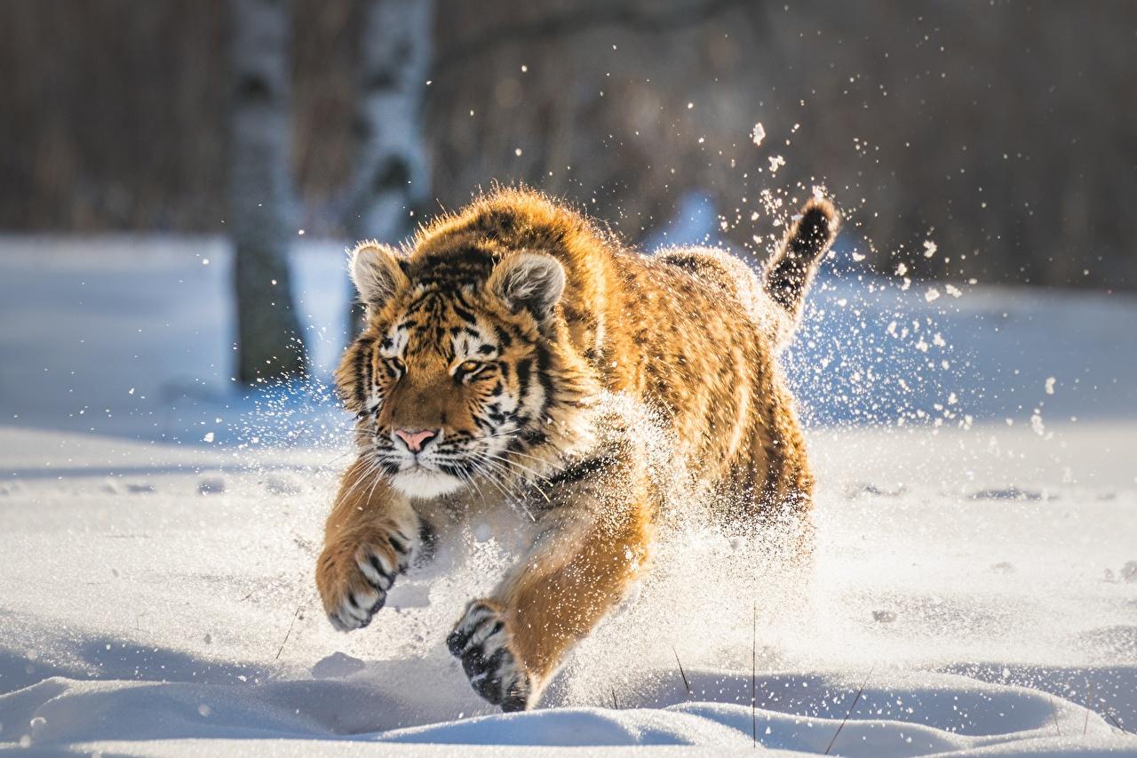 Fotos Tiger Jungtiere Laufsport Schnee ein Tier Lauf Laufen Tiere