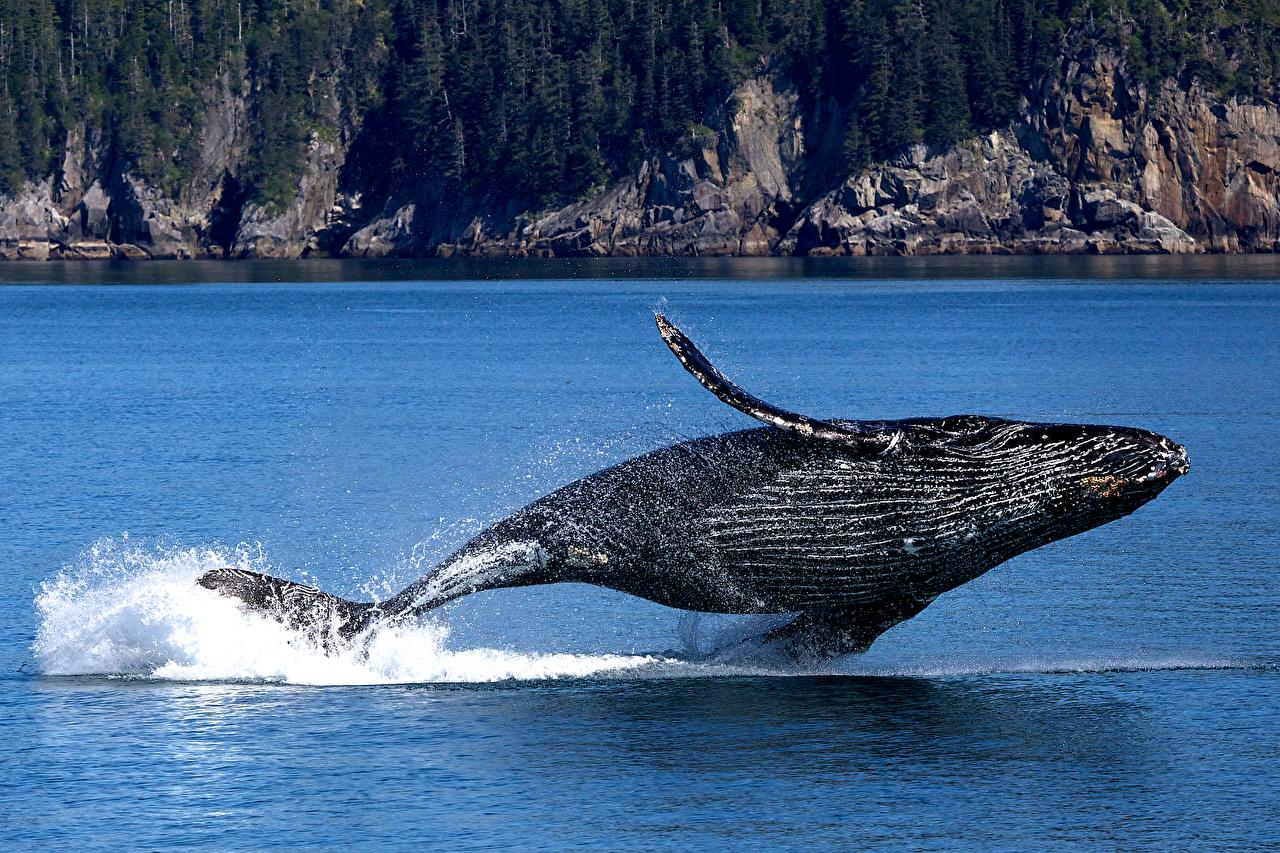 Picture Alaska Whale USA Humpback whale, Kenai Fjords National Park Crag Jump Parks Water splash animal Rock Cliff park Animals