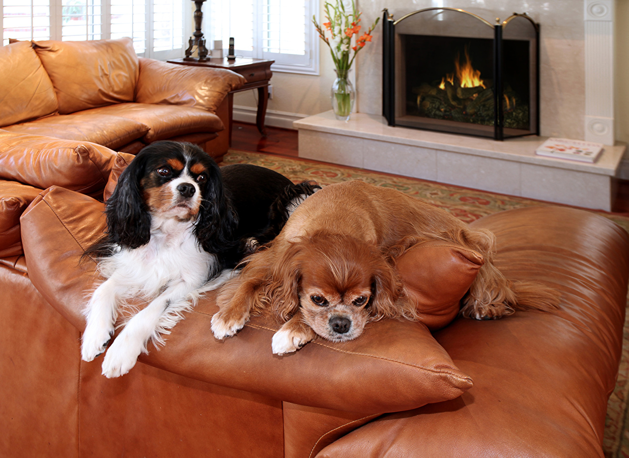 Pictures Spaniel King Charles Spaniel dog Two Fireplace Sofa animal Dogs 2 Couch Animals