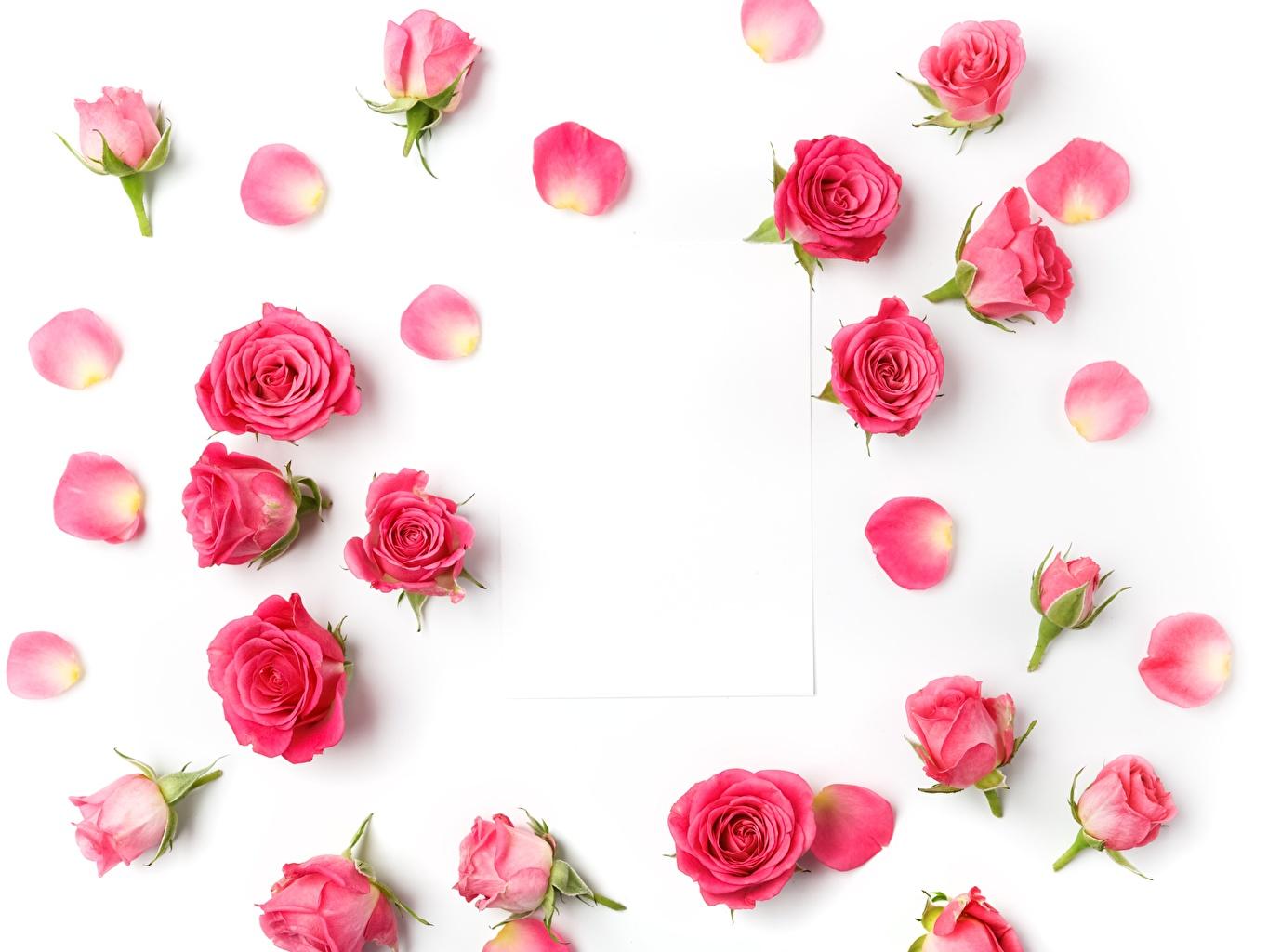 Fonds d'ecran Roses Fond blanc Rose couleur Fleurs télécharger photo