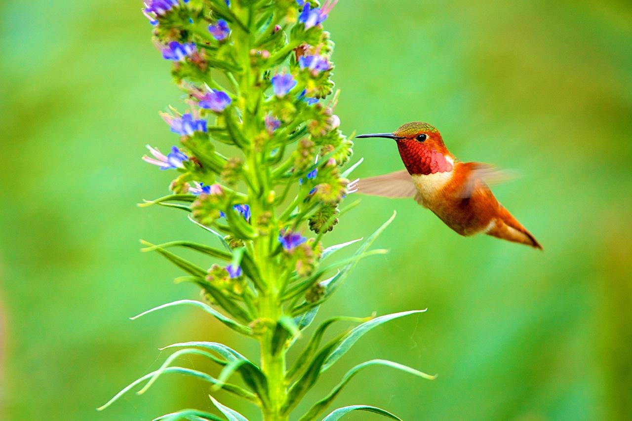 Pictures bird Hummingbird animal Birds Colibri Animals
