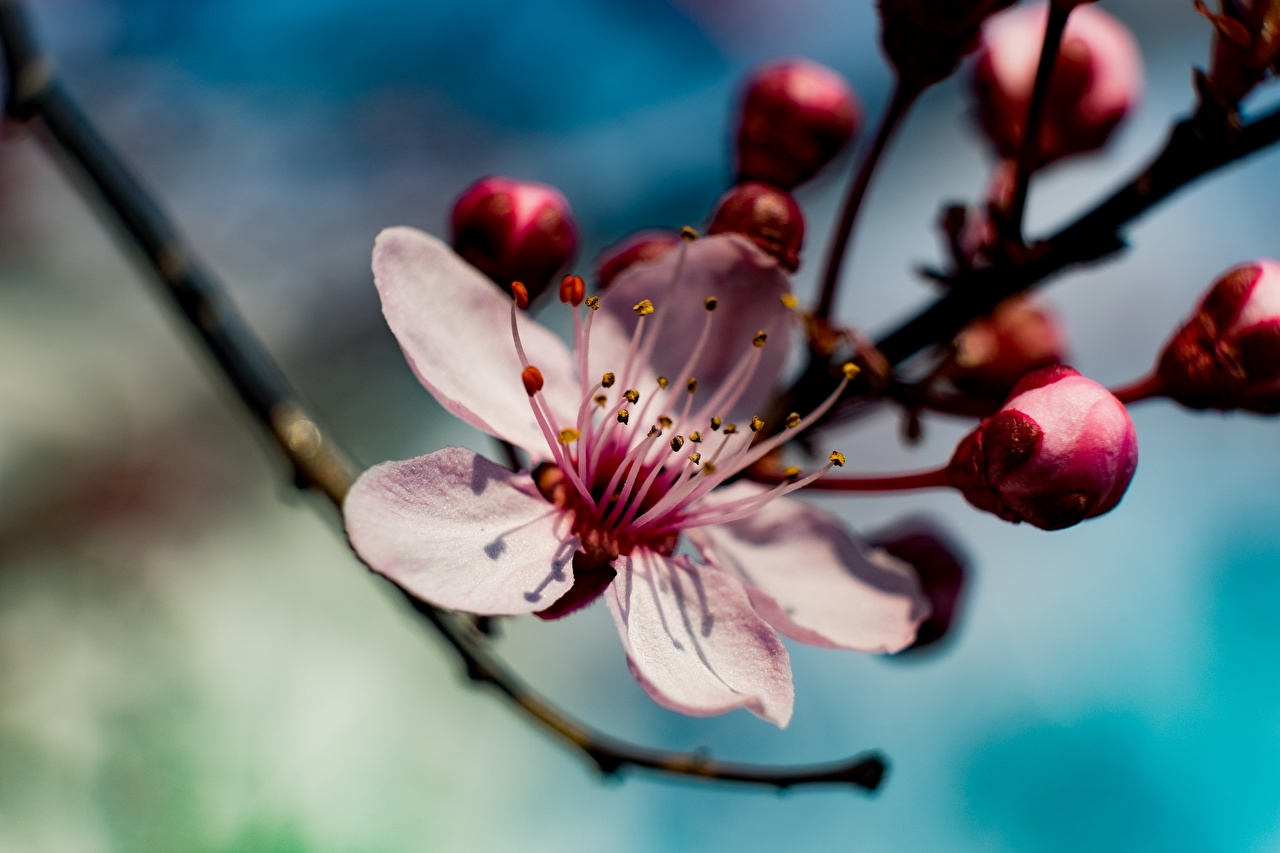 Images Cherry blossom Bokeh Spring Pink color Flowers Sakura blurred background flower