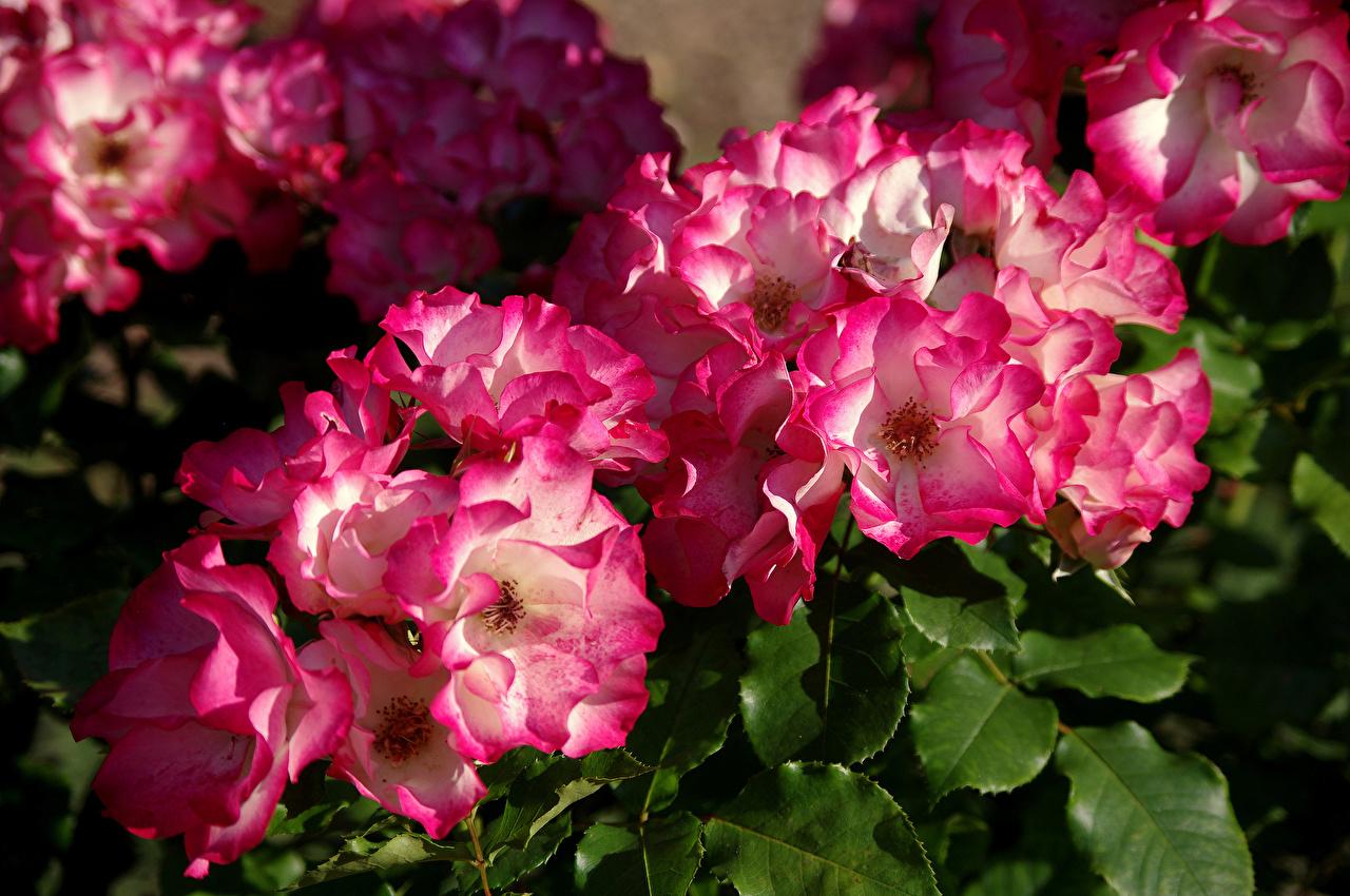 Bakgrunnsbilder Roser Blomster Nærbilde rosa blomst