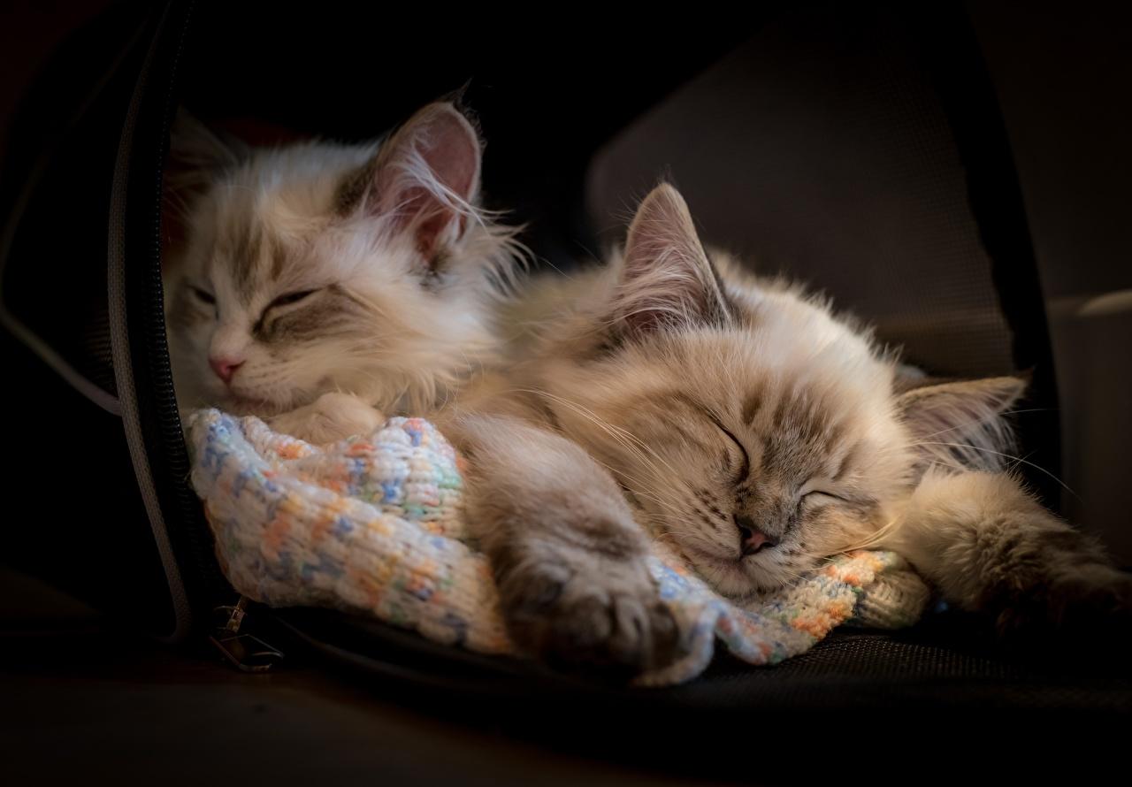 Bilder von Katzenjunges Ragdoll-Katze Hauskatze Zwei schläft Tiere Kätzchen Katze Katzen 2 Schlaf schlafen schlafende schlafendes ein Tier