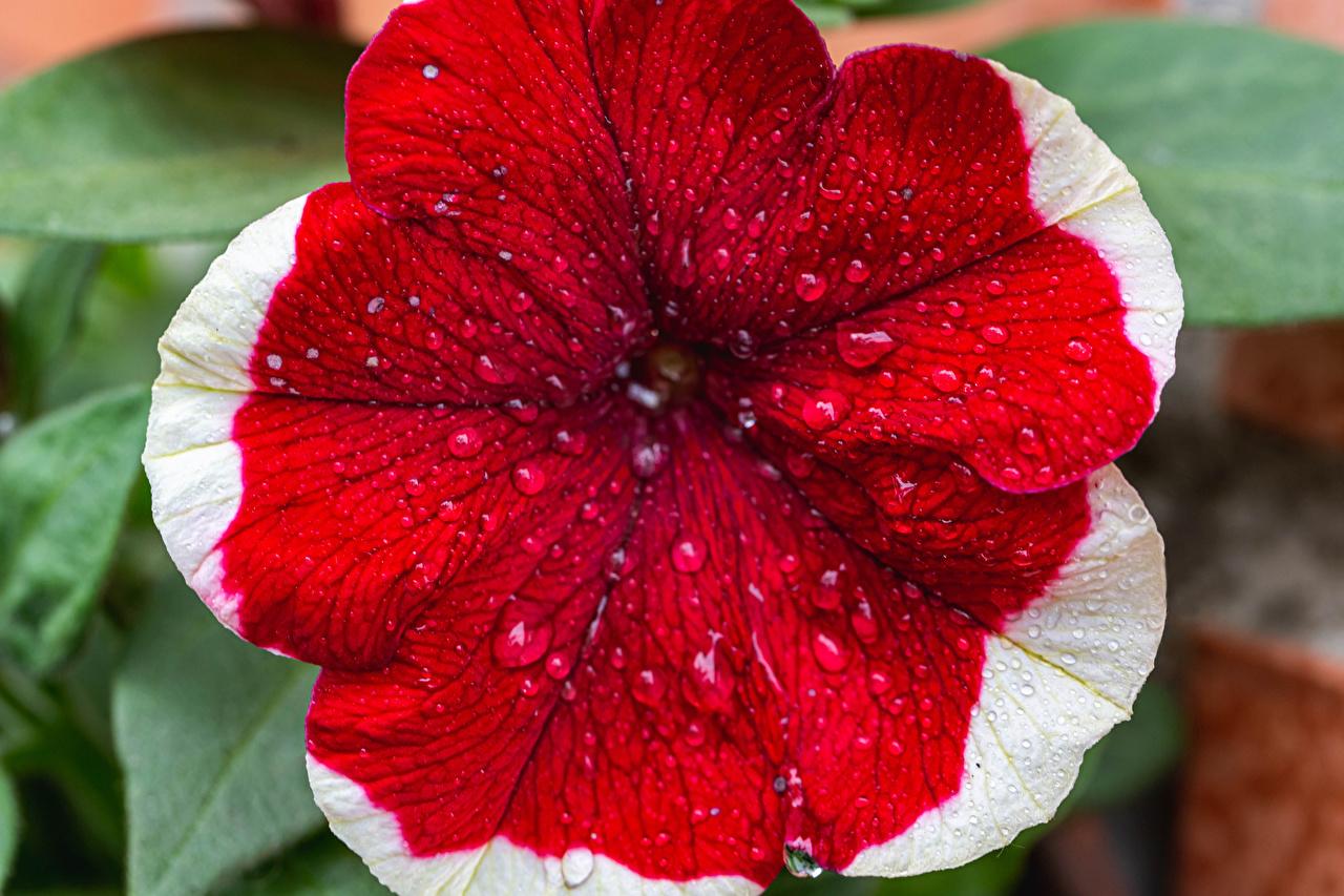 Fotos Rot Blumen Tropfen Petunien Großansicht Blüte hautnah Nahaufnahme