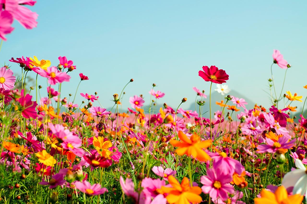 Desktop Hintergrundbilder Sommer Himmel Blüte Grünland Schmuckkörbchen Blumen Kosmeen