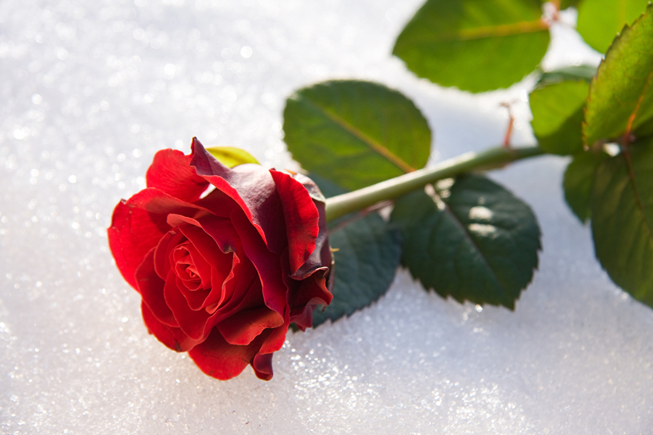 Images Red Roses Snow flower Closeup rose Flowers