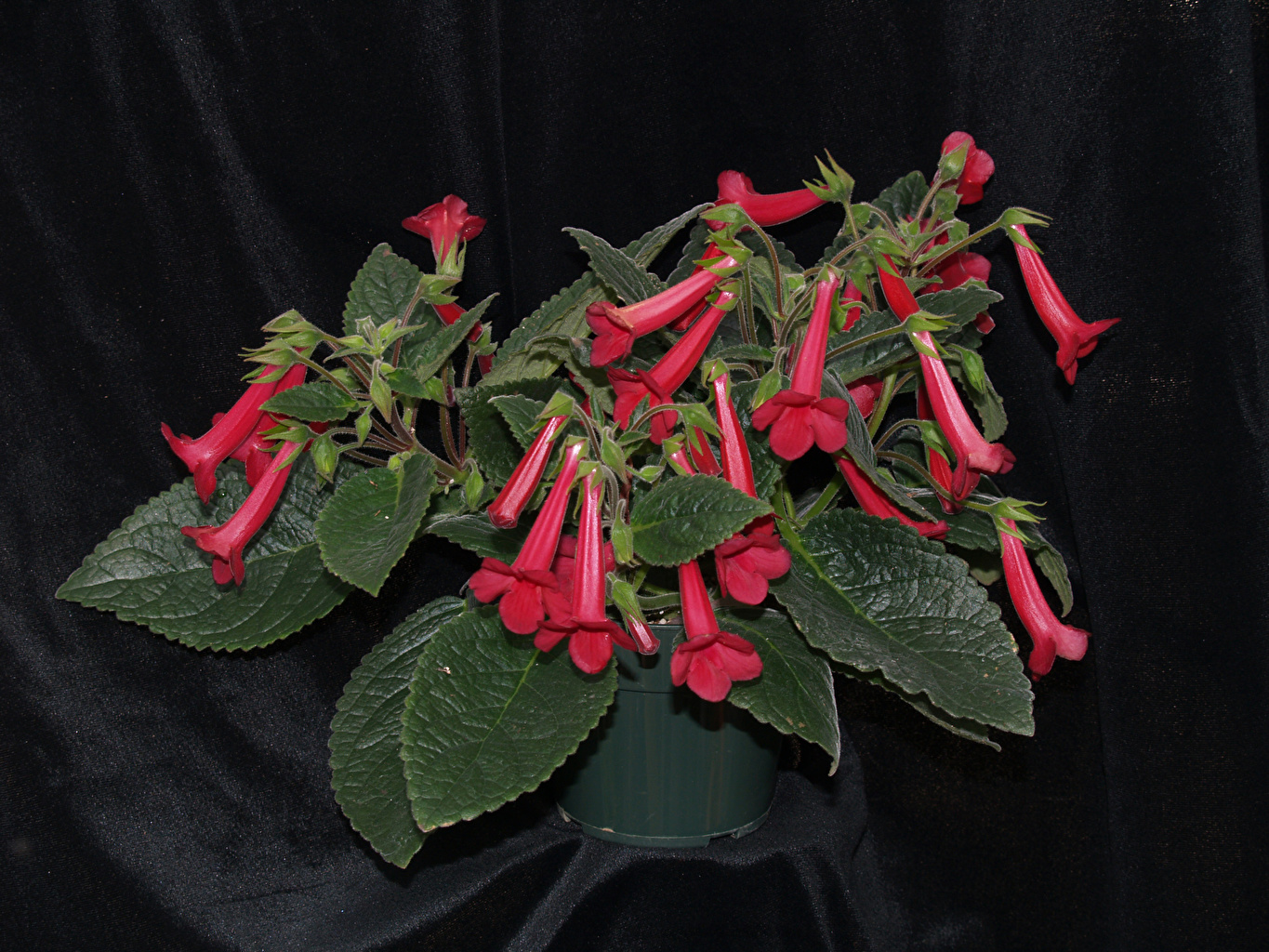 Picture Foliage Red Flowers Sinningia Leaf