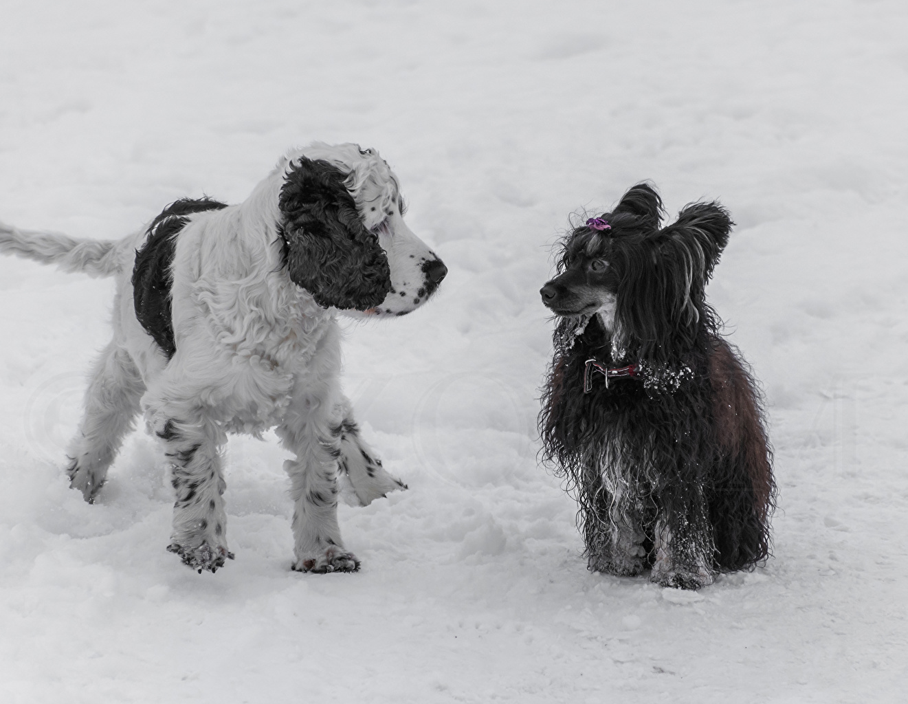 Photos Chinese Crested dog English Cocker Spaniel Snow animal 1ZOOM Dogs Animals