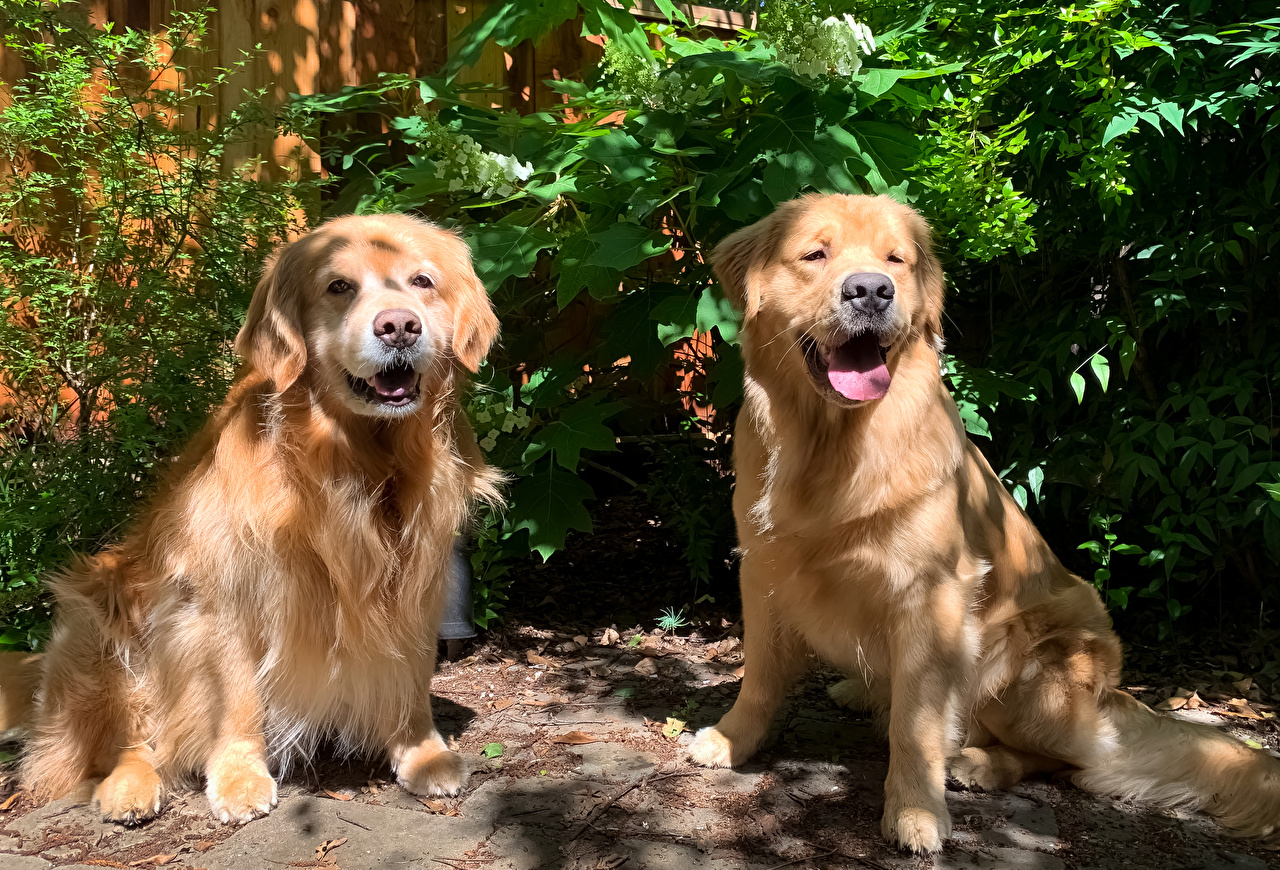 Pictures Golden Retriever dog 2 animal Dogs Two Animals