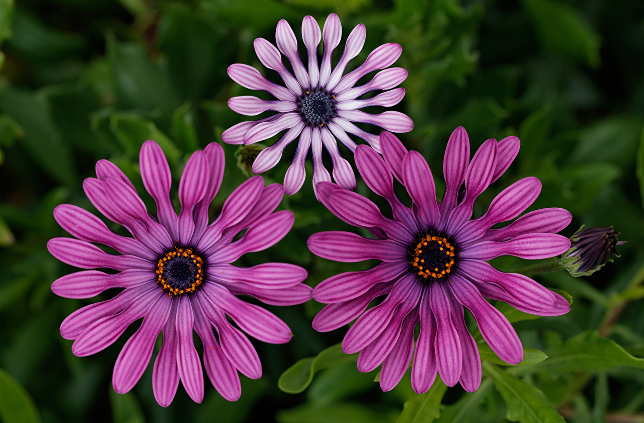 Desktop Wallpapers blurred background Osteospermum Flowers Three 3 Bokeh flower