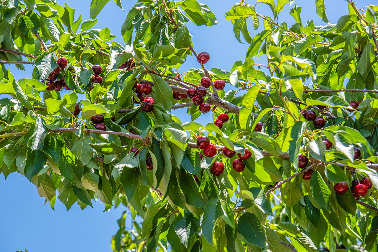 Pictures Leaf Nature Cherry Branches Foliage