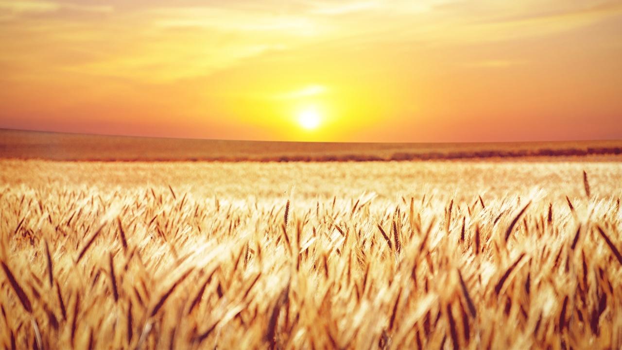 Desktop Hintergrundbilder Natur Sonne Felder Ähren Sonnenaufgänge und Sonnenuntergänge Horizont Acker Ähre spitze spitzen Morgendämmerung und Sonnenuntergang