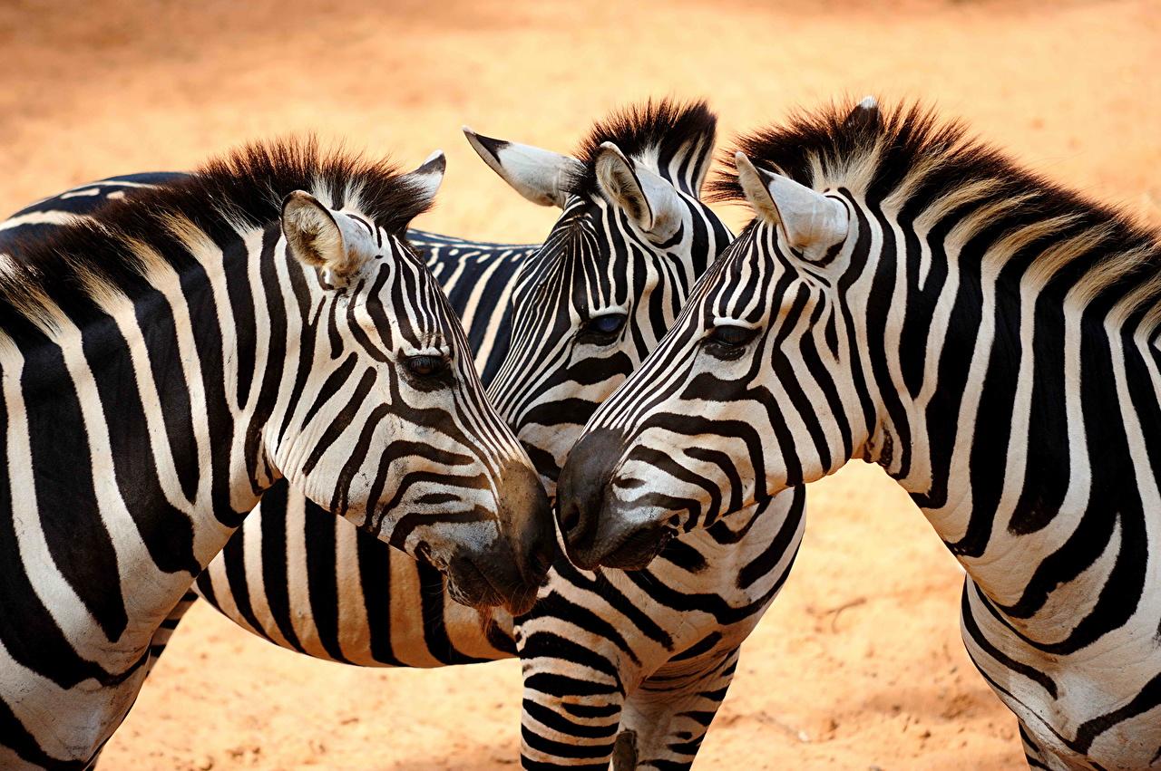 Fonds D Ecran Zebre Animaux Telecharger Photo
