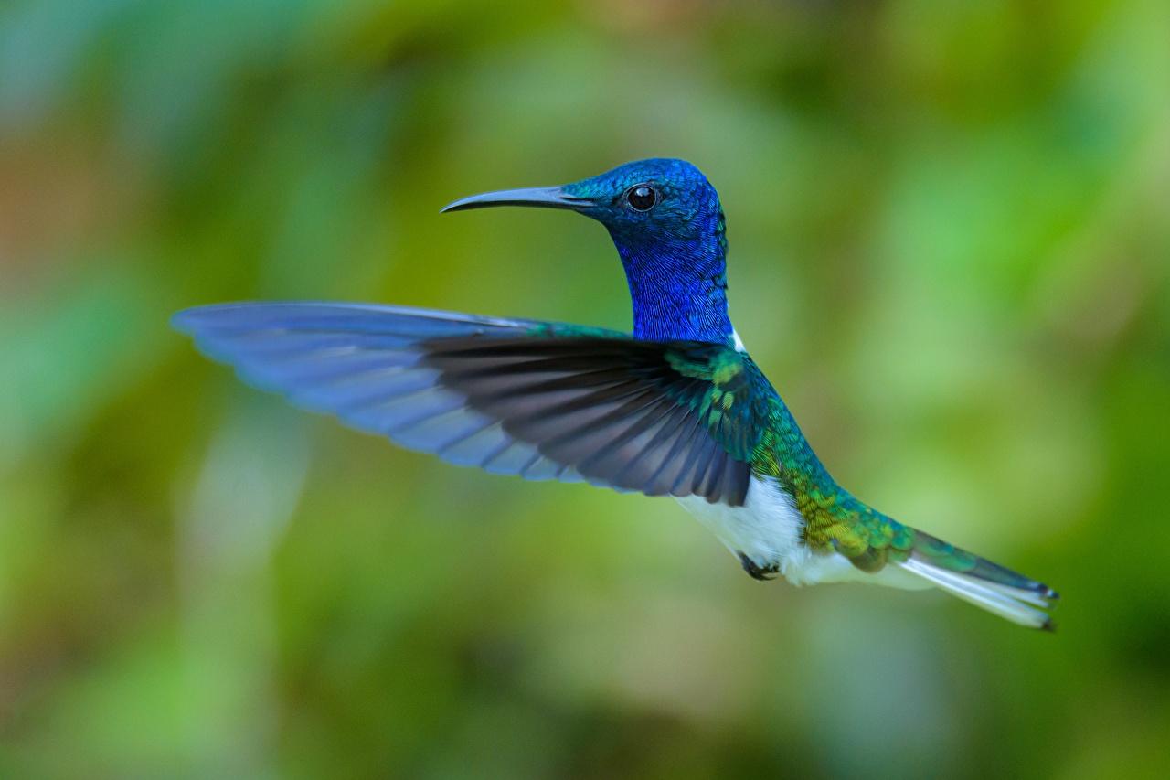 Wallpaper bird Colibri Wings Blue Flight animal Birds Hummingbird Animals