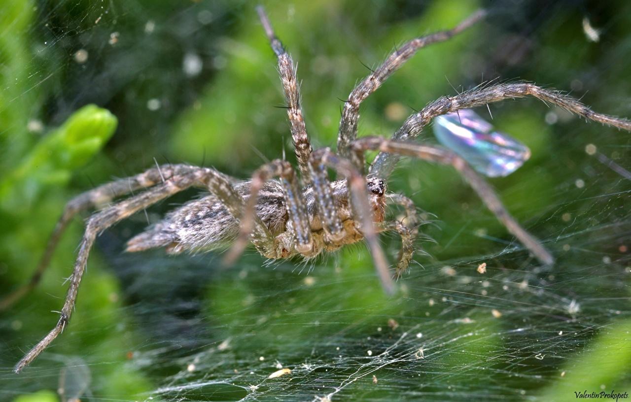 Bakgrunnsbilder til skrivebordet Edderkopper Edderkoppsilke Dyr Nærbilde edderkopp
