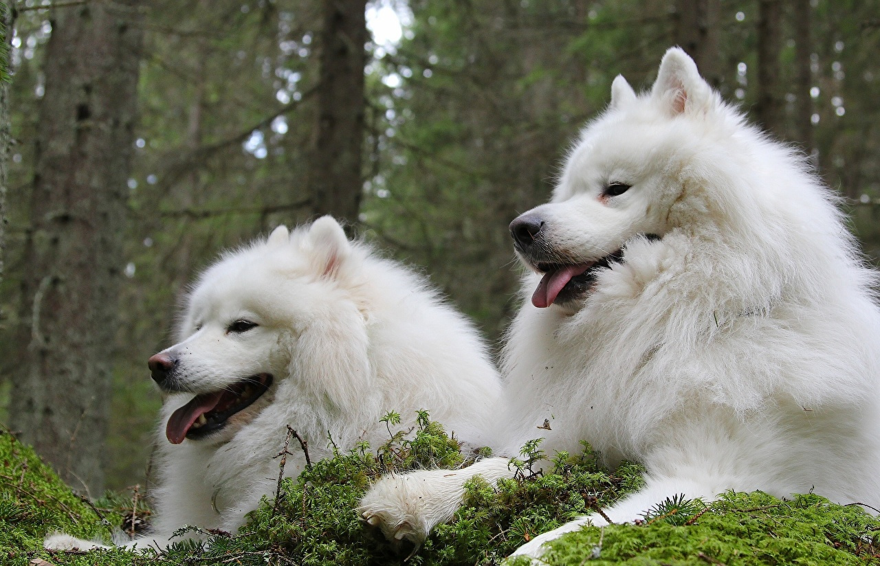 Desktop Wallpapers Samoyed dog Dogs Two White Animals dog 2 animal