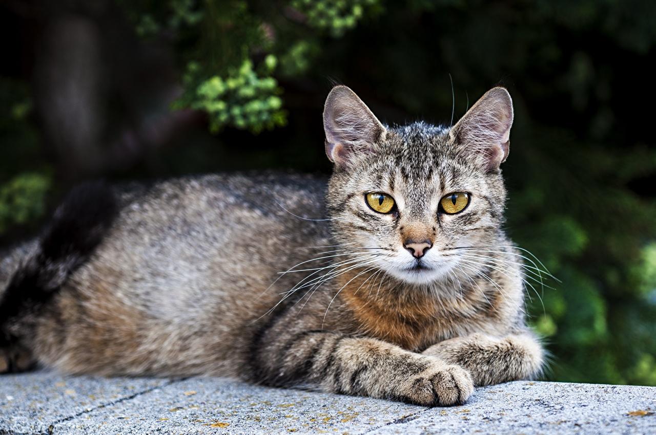Bilder von Hauskatze ruhen unscharfer Hintergrund Pfote ein Tier Katze Katzen Liegt Liegen hinlegen Bokeh Tiere