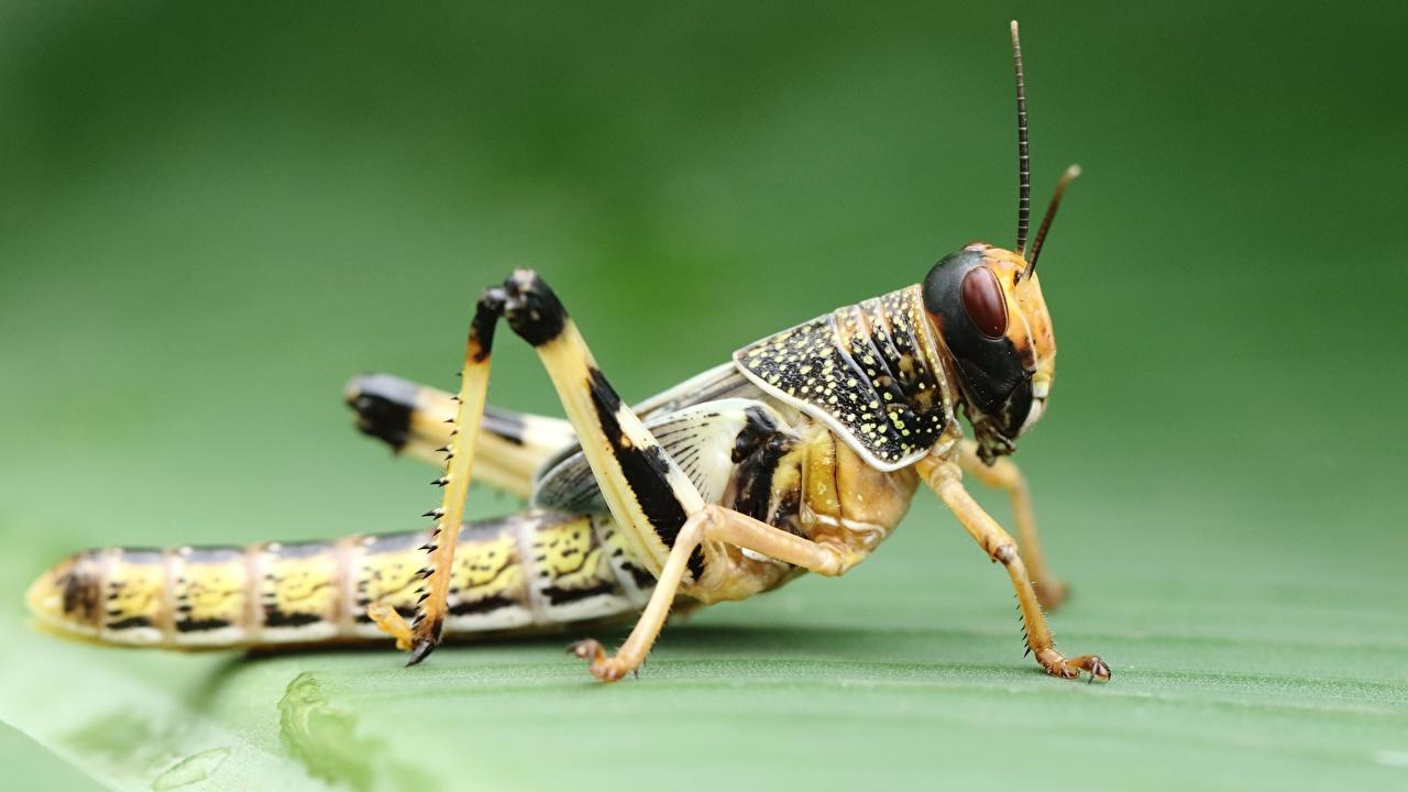 Wallpaper Grasshoppers animal Closeup Animals