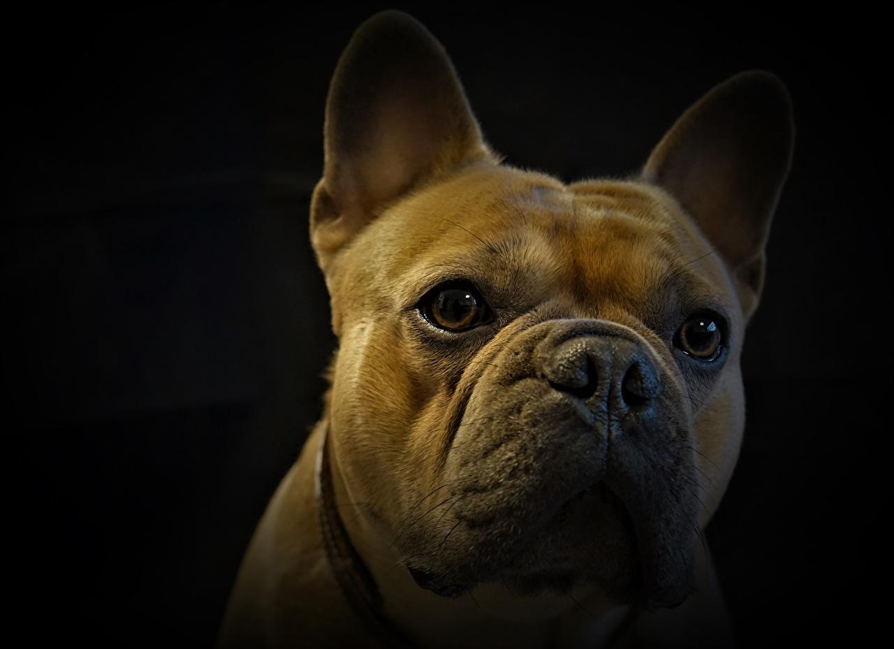 Photos French Bulldog Dogs Head Animals Staring Closeup Black background dog animal Glance