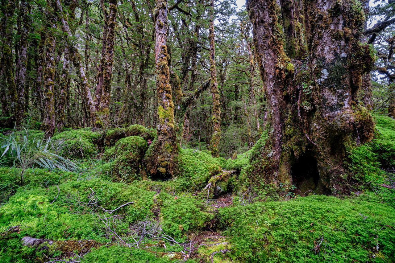 Image New Zealand Fiordland Nature forest Moss Trees Staring Forests Glance