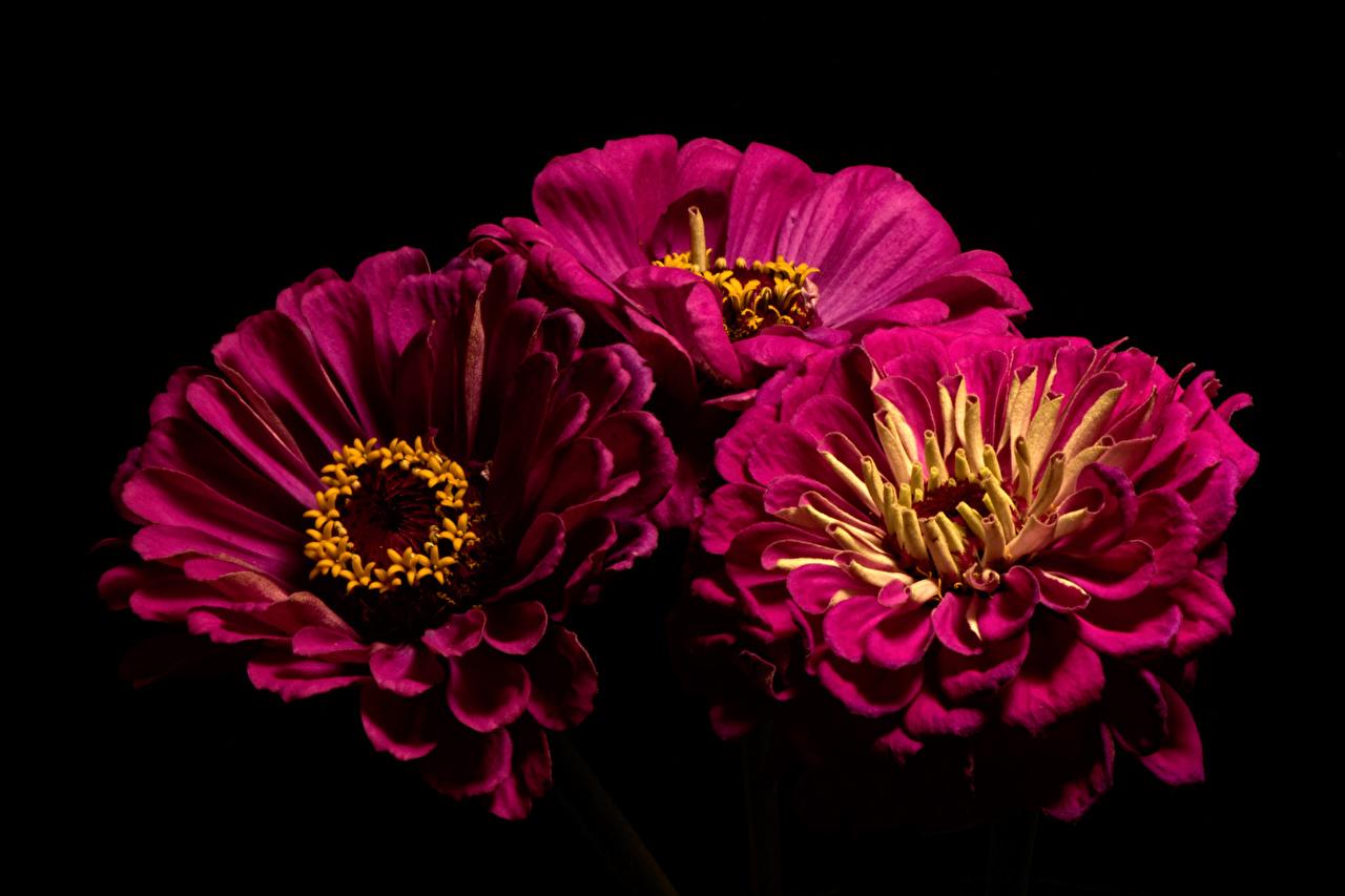 Bilder Bordeauxrot Blumen Zinnien Drei 3 Großansicht Schwarzer Hintergrund dunkelrote burgunder Farbe Blüte hautnah Nahaufnahme