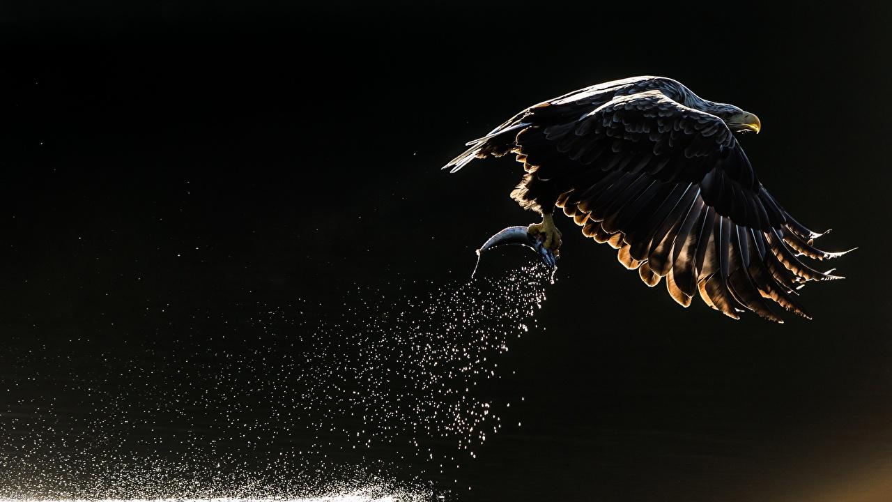 Pictures Bald Eagle Birds Eagles Hunting Fishing Water splash Flight Animals bird eagle hunt animal