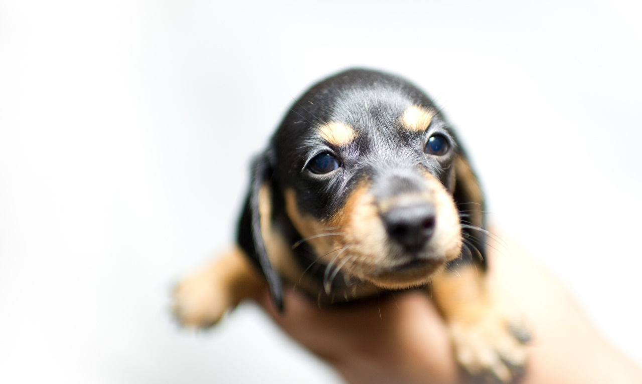 Desktop Wallpapers Puppy Dogs Bokeh Animals Staring puppies dog blurred background animal Glance