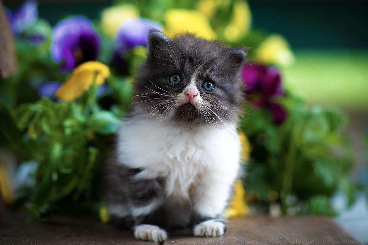 Bilder Kätzchen Katze Bokeh Tiere Starren Katzenjunges Katzen Hauskatze unscharfer Hintergrund Blick ein Tier
