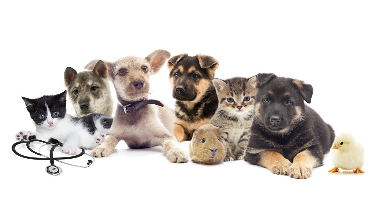 Foto Welpe Siberian Husky Jack Russell Terrier Hunde Katze Hühner Hausmeerschweinchen Tiere Weißer hintergrund