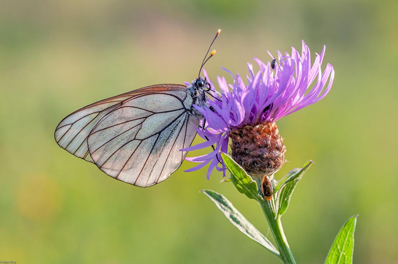Papilionoidea Insectes En gros plan black-veined white un animal, papillons Animaux