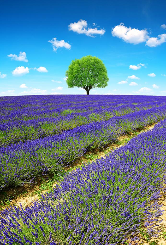 Bilder Provence Frankreich Natur Felder Lavendel Bäume  für Handy Acker